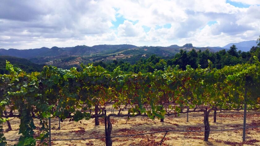 Wine grapes growing at the Sol De Luz Vineyards in the De Luz area of Temecula. The owner of the vineyard, Heather Petersen, is leading a drive to establish a federal American Viticultural Area designation for the De Luz region.