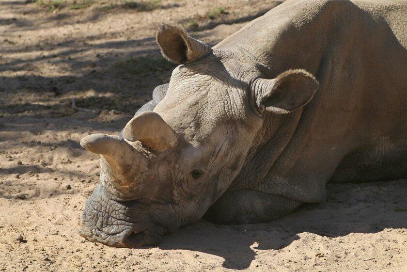 In an October photo, Nola relaxes at San Diego Zoo Safari Park.