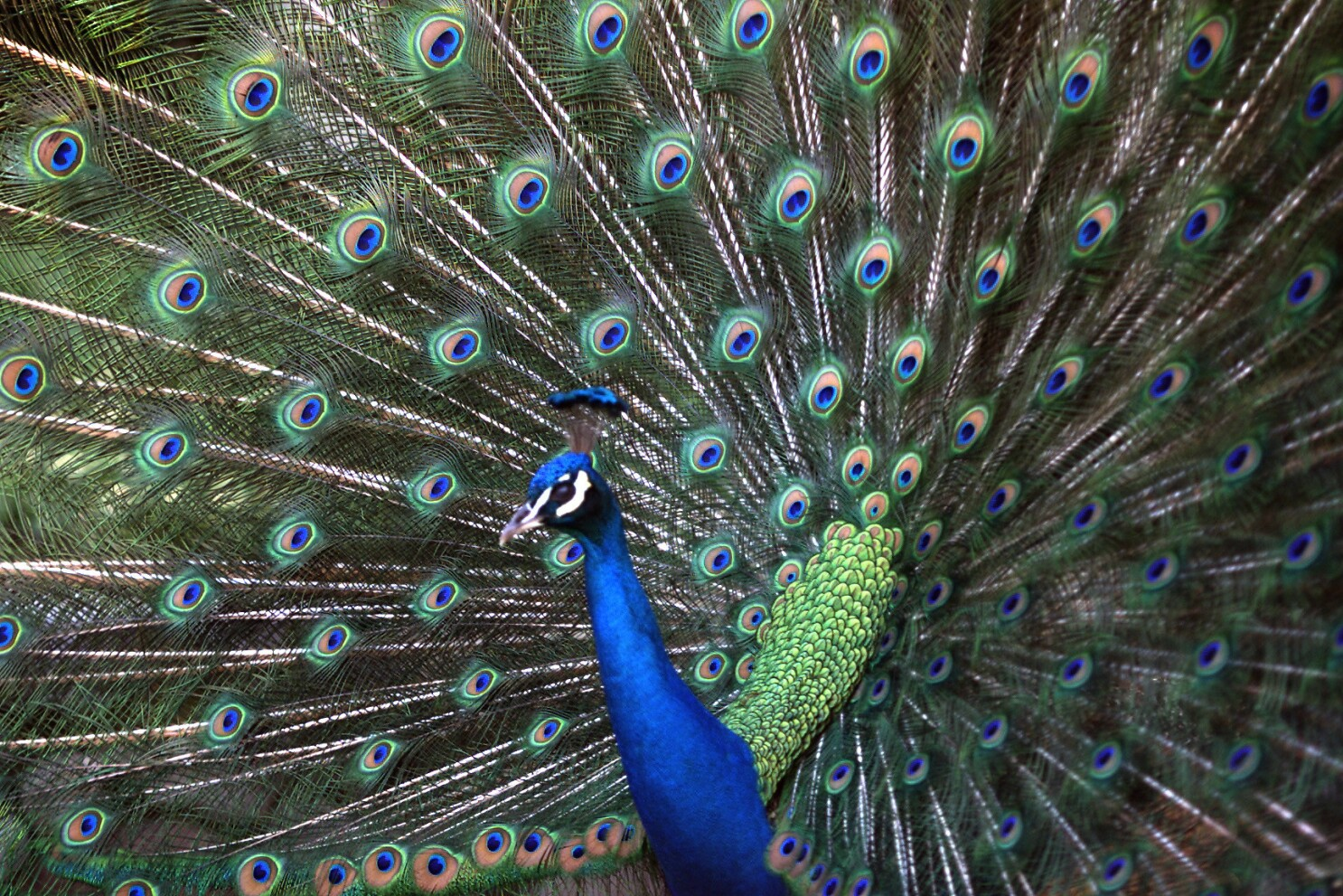 Chatsworth man accused of running over 2 peacocks with his pickup