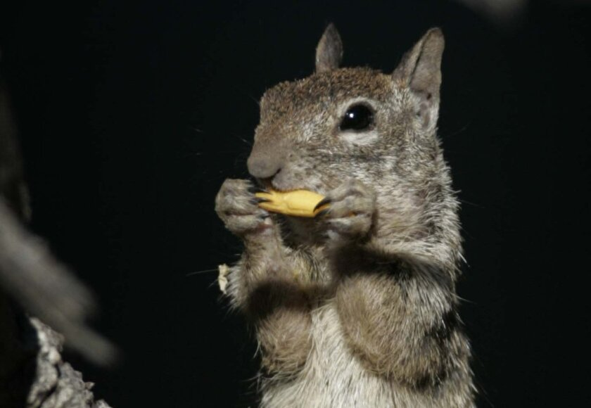 A common California ground squirrel photographed near Buckman Springs Road in 2008.