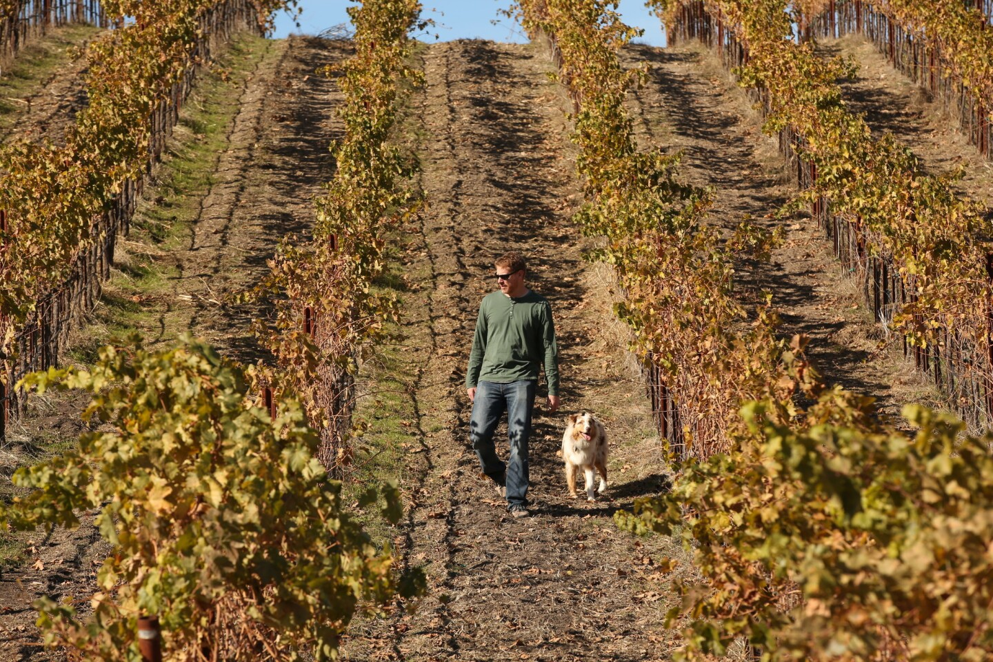 Jason Haas, partner and general manager of Tablas Creek Vineyard planted in 1992, walks through the limestone-rich 120-acre organic estate vineyard in the hills north and west of Paso Robles. The vineyard has taken several measures meant to capture predicted rain from El Niño.