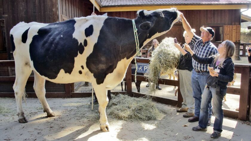 Owner Ken Farley and animal care supervisor Amanda Auston, right, tend to Danniel, a giant Holstein steer, at the Sequoia Park Zoo in Eureka, Calif., in 2016.