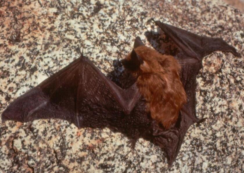 Fotografia de un murciélago marrón (Eptesicus fuscus). EFE/CDFG/ USO EDITORIAL SOLAMENTE/NO VENTAS