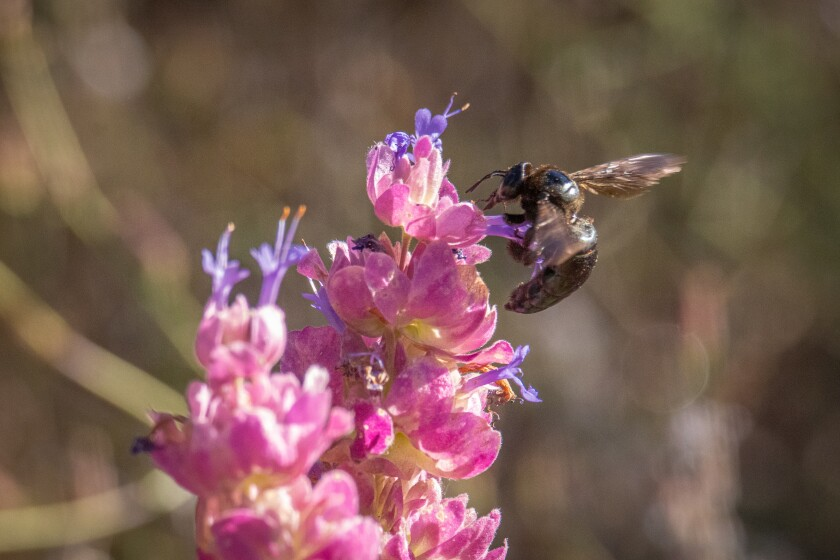 A carpenter bee feeding on blue sage blossoms.