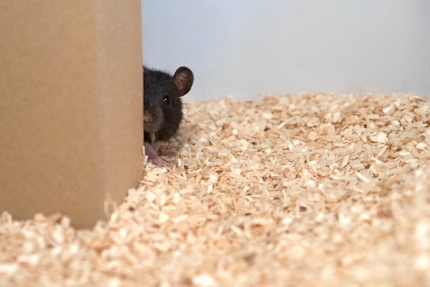 A rat hides behind a piece of cardboard