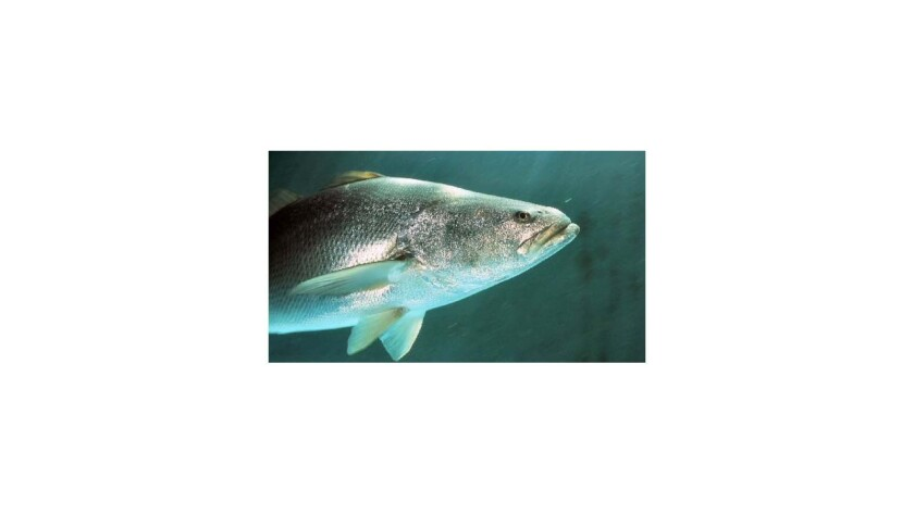 A Calexico man was sentenced to a year in prison for smuggling prized Totoaba fish bladders into the U.S. for sale on the black market. Above, a Totoaba fish.