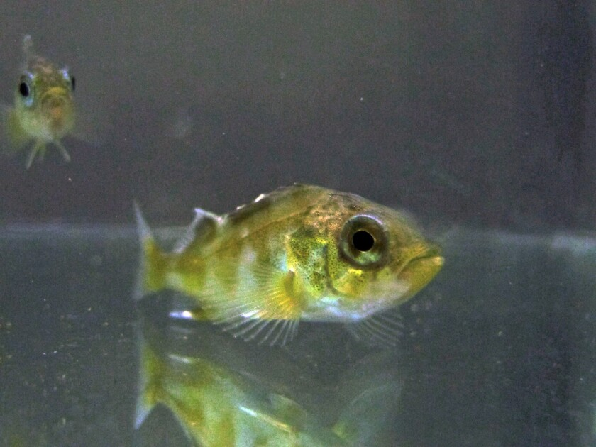 A laboratory experiment found juvenile rockfish showed signs of anxiety after living in seawater with acidity levels projected by the end of the century off the California coast.