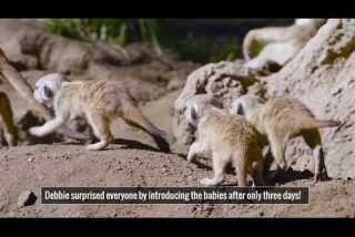 Meerkat pups at the San Diego Zoo
