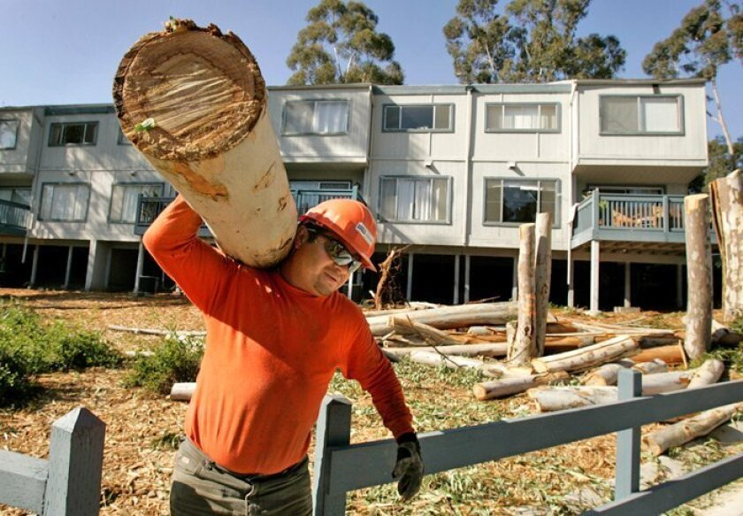 Tree trimmer Walter Zaldana recently carried part of one of the eucalyptus trees at The Grove development.
