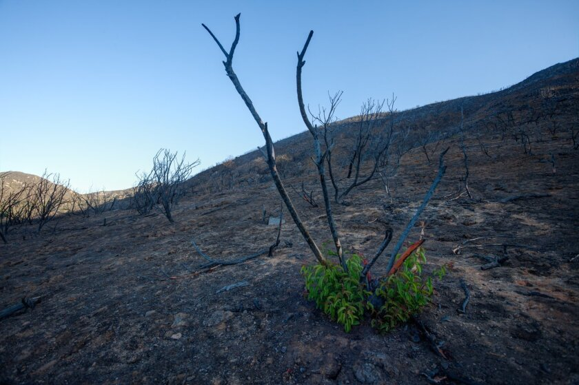 SIgns of life are returning in the areas burned by the Cocos fire, including this sumac along Harmony Grove on June 28.