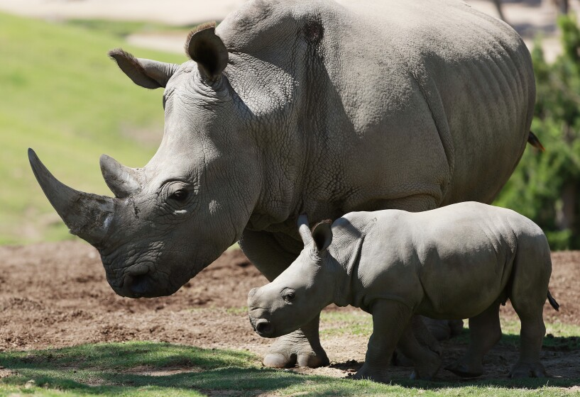 Kianga, a southern white rhino, walks with her yet to be named month-old calf.