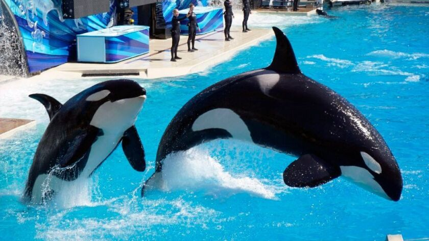 A pair of killer whales, or orcas, jump as they perform during the Shamu's One Ocean show at SeaWorld in San Diego.