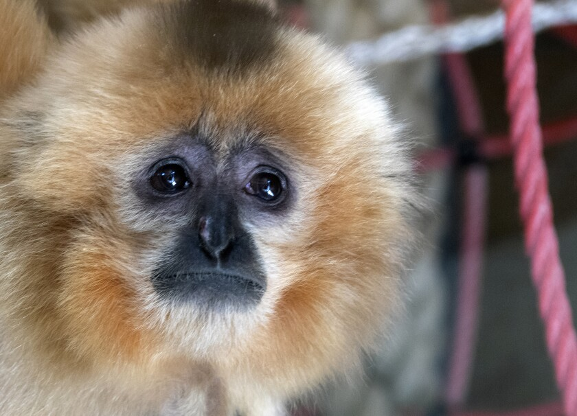 A gibbon looks on inside his enclosure at the zoo in Sarajevo, Bosnia, Monday, Feb. 15, 2021. The Sarajevo zoo welcomed Monday two new residents, a pair of golden-cheeked gibbons, thus joining the family of European menageries united in the effort to save the endangered tiny apes from extinction. (AP Photo/Eldar Emric)