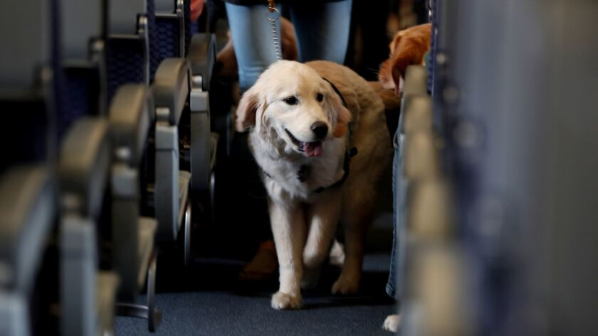 FILE - In this April 1, 2017 file photo, a service dog strolls through the isle inside a United Airl