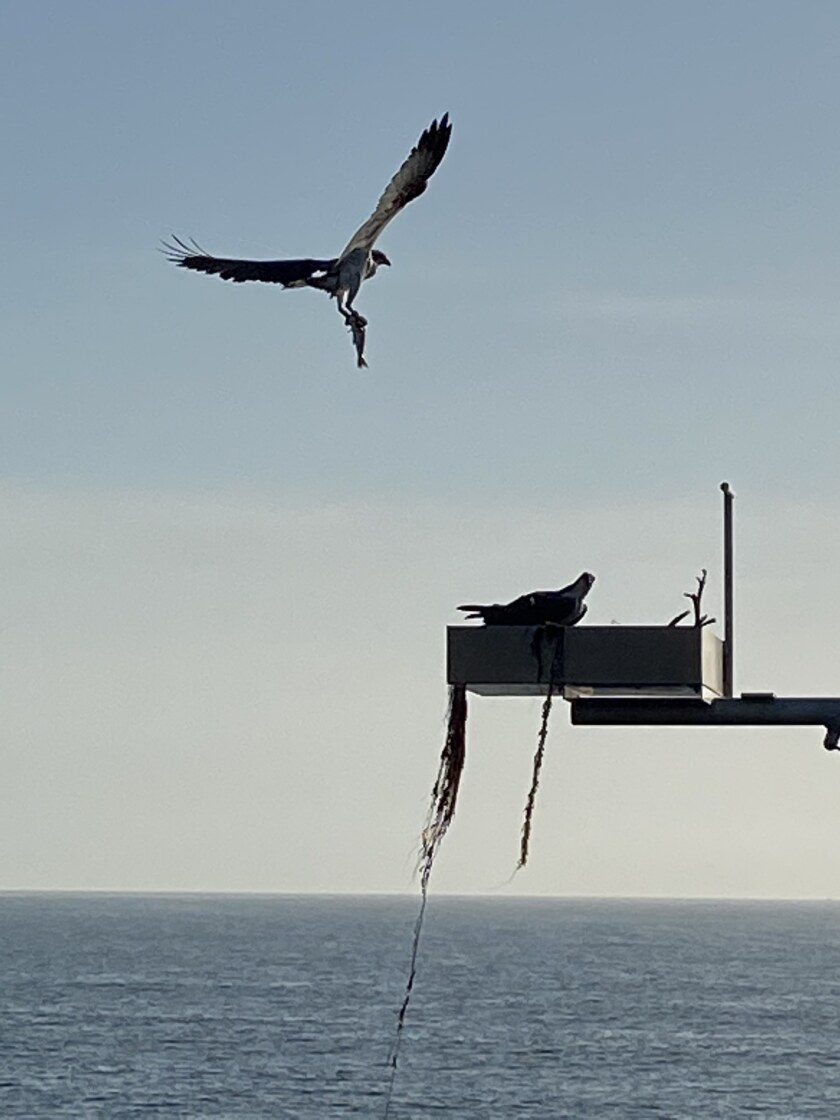 An osprey takes a fish to the nesting site on the Scripps Pier in La Jolla.