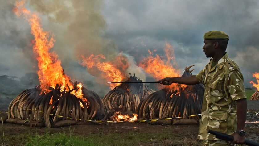 Kenya Wildlife Services rangers stand guard around illegal stockpiles of burning elephant tusks, ivory figurines and rhinoceros horns at the Nairobi National Park in April.