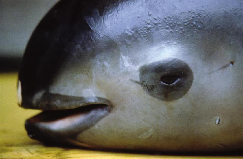 Imagen proporcionada por el Fondo Mundial para la Naturaleza (WWF), de una Vaquita Marina. EFE/Omar Vidal /WWF/SOLO USO EDITORIAL