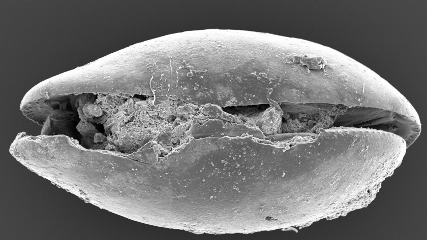 Australian researchers put a 17-million-year-old shrimp under the microscope.