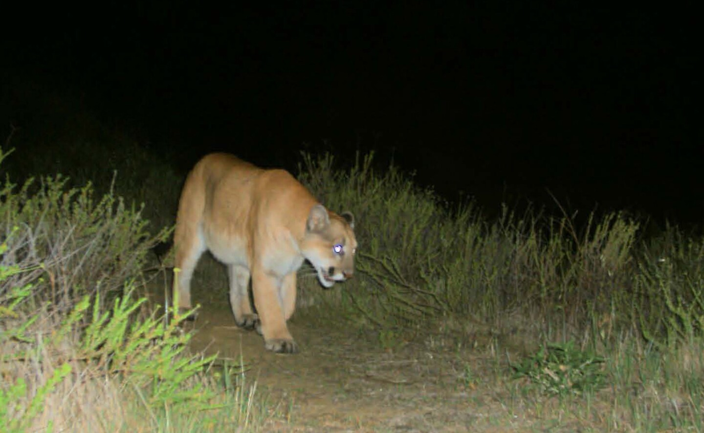 This is the first photographic evidence of mountain lion P-22 in the Griffith Park area, taken Feb. 12 at 9:15 p.m. The photo was taken using a remote camera operated by Cooper Ecological Monitoring for the Griffith Park Wildlife Connectivity Study, which is evaluating the movement of mammals through wildlife corridors that may connect Griffith Park to neighboring natural areas.