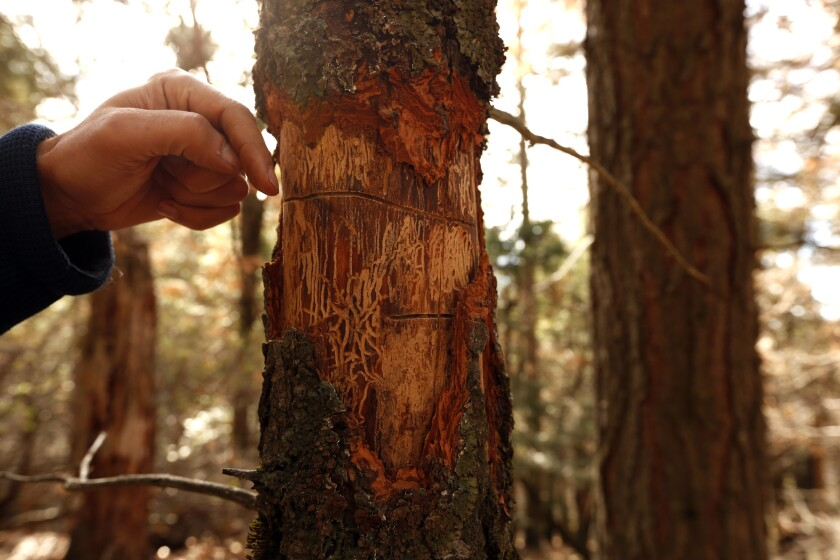 What All Those Dead Trees Mean For The Sierra Nevada Los Angeles Times