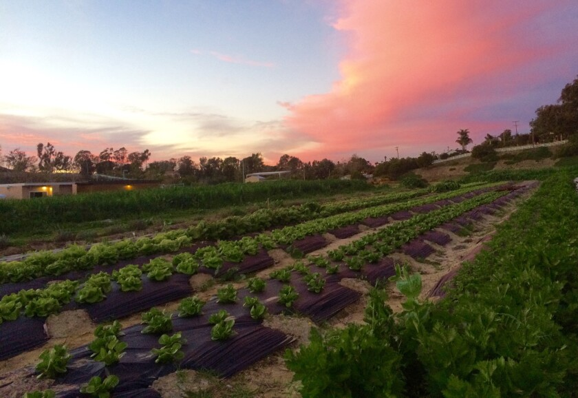 Encinitas Union School District announced that its Farm Lab gained organic certification. The farm grows produce for school cafeterias.