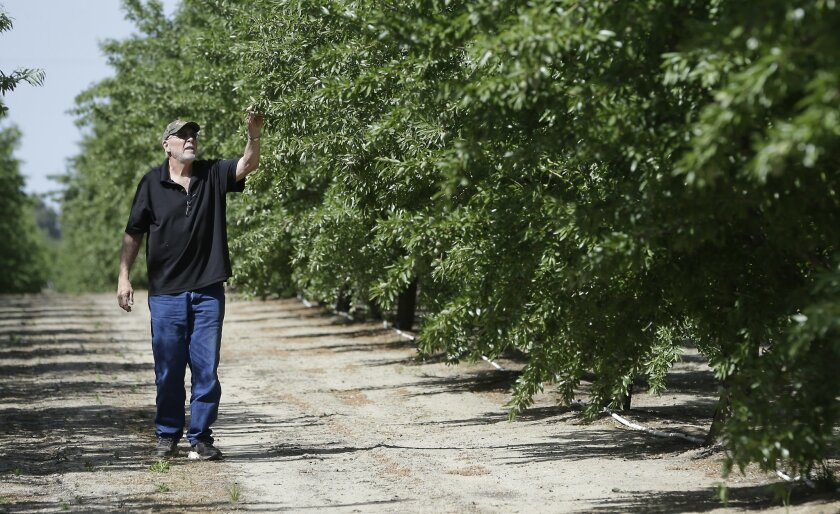 """In this Tuesday March 31, 2015 photo, almond grower Bob Weimer inspects almond trees in his orchard near Atwater, Calif. As California cities and towns move to mandatory water cutbacks in the fourth year of extreme drought, the state's $6.5 billion almond crop has claimed the spotlight as """"the post"""