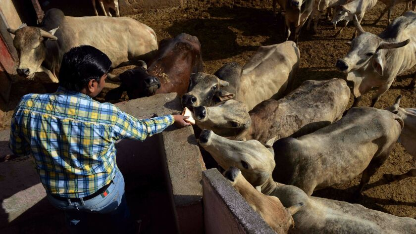 An Indian man offers food to cows at a cow shelter in New Delhi on April 25, 2017. India could issue