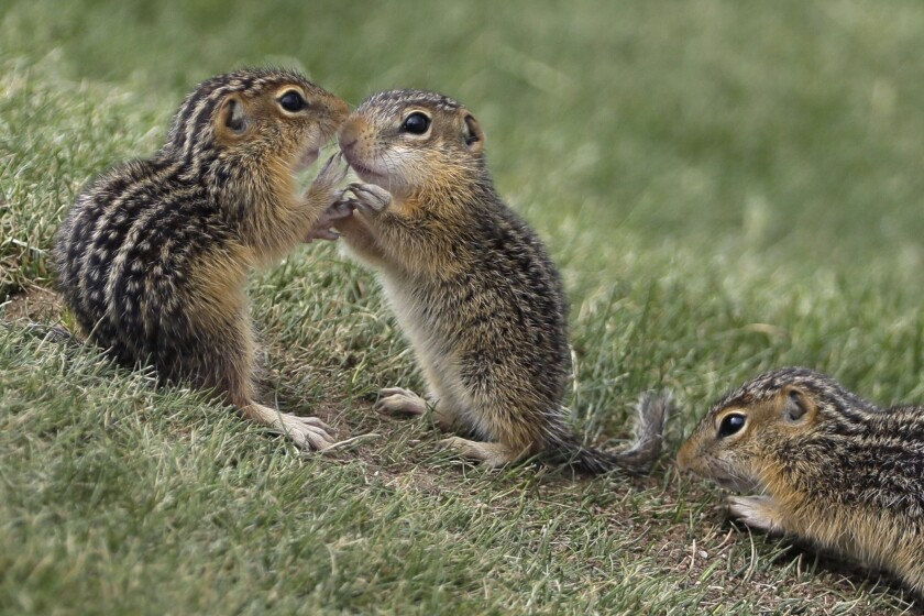 FILE - In this June 18, 2017, file photo, Chipmunks congregate near the ninth hole during the fourth round of the U.S. Open golf tournament at Erin Hills in Erin, Wis. There has been a spike in New England's chipmunk population during the summer of 2020. (AP Photo/David J. Phillip, File)