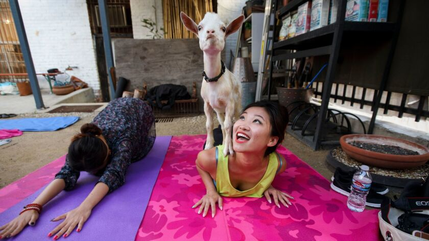 Emily Tang reacts as a baby goat stands on her back during a goat yoga session in the back garden of Acorn in Eagle Rock.