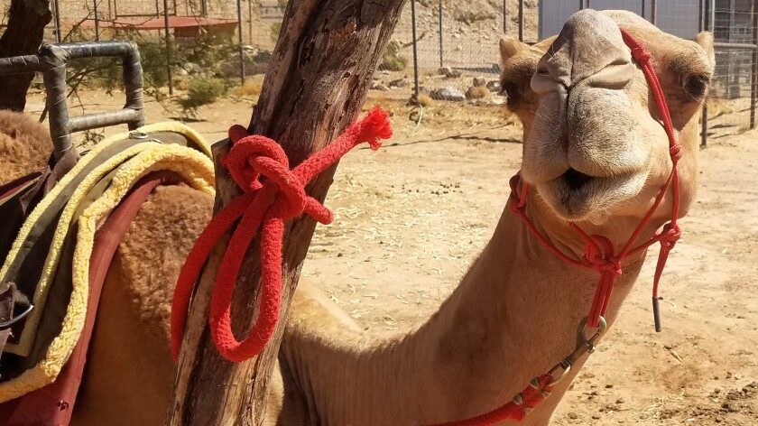 A camel named Lodi awaits a human rider at Camel Safari in Southern Nevada.