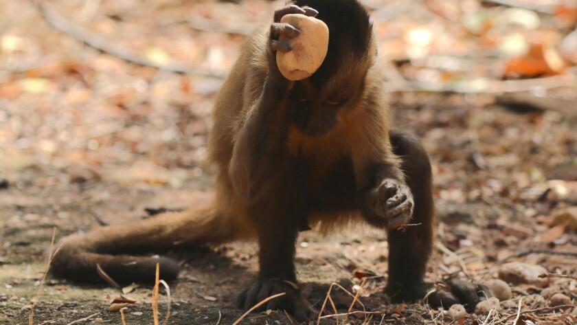 A capuchin monkey hard at work.