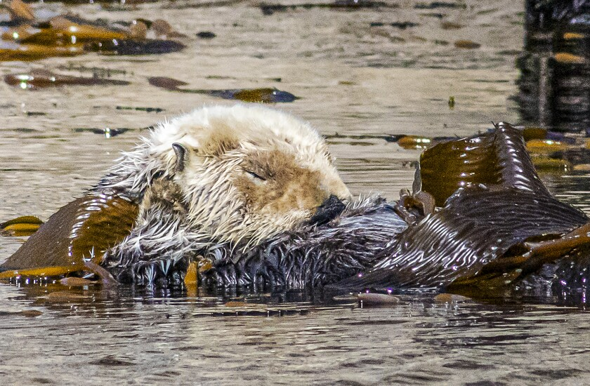 A sea otter snoozes while floating in the kelp in Morro Bay.