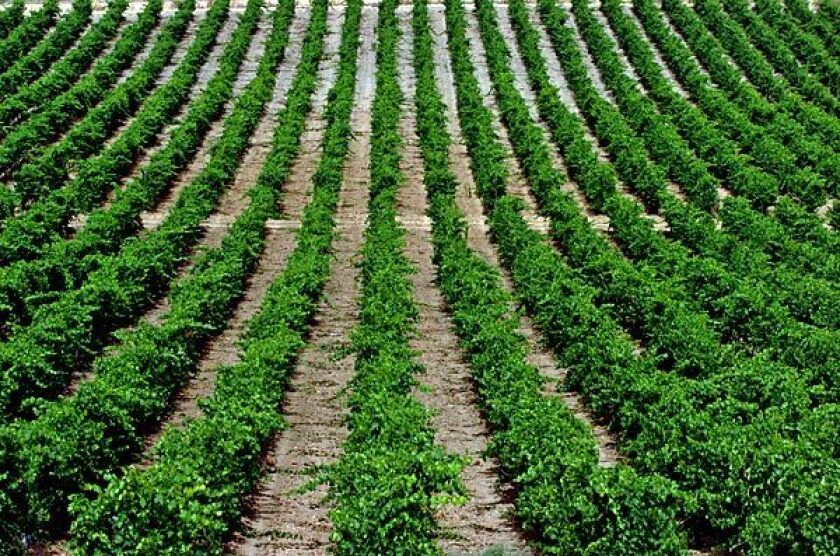 With the help of vineyards such as Bodegas Naia, Verdejo has returned to pride of place in Rueda.