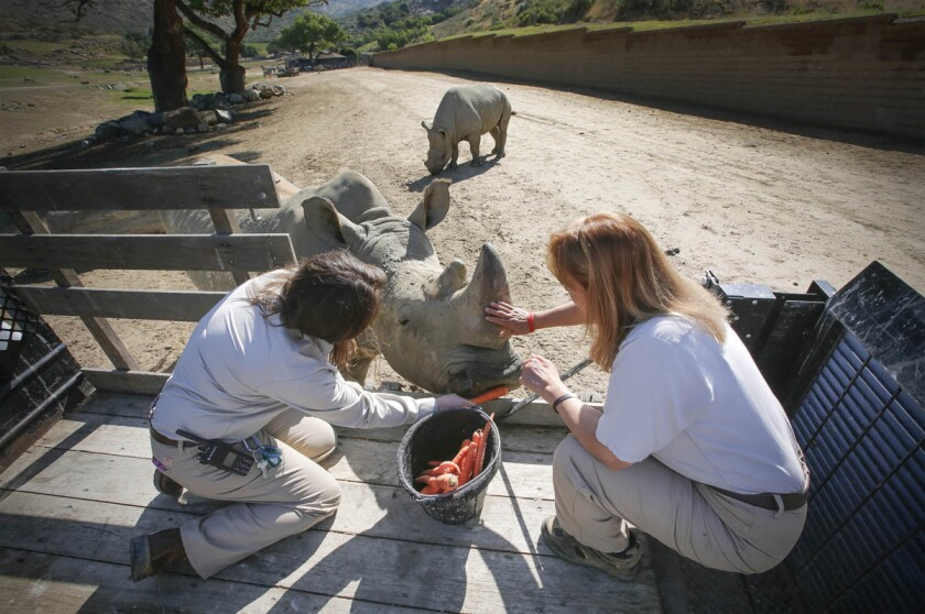 "Katie Garagarza, left, a senior zookeeper at the San Diego Zoo Safari Park, and her mom, Jane Kennedy, right, a lead zookeeper at the park, feed ""Chuck,"" a 48-year-old southern white rhino. (Howard Lipin/Union-Tribune)"