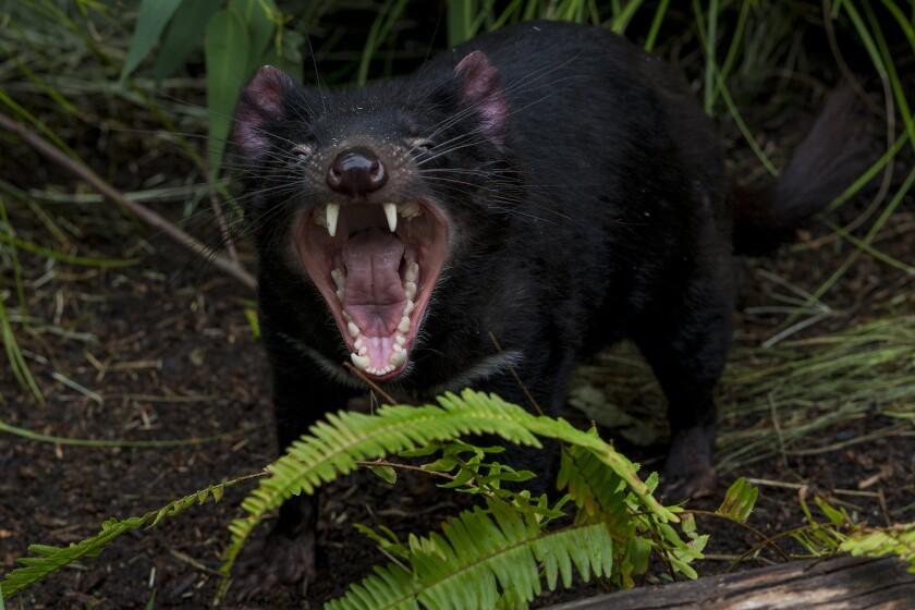 Tasmanian devils at San Diego Zoo