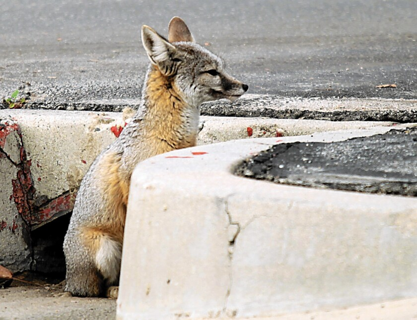 A San Joaquin kit fox sits in downtown Bakersfield. The animal is considered one of the most endangered species in California. About 7,000 are believed to exist.