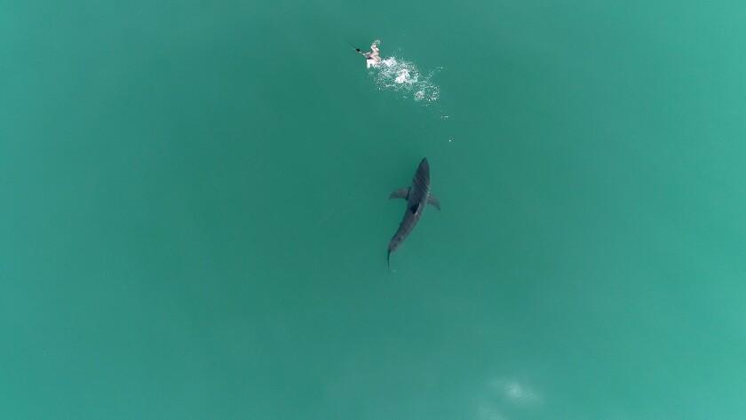 A juvenile white shark scares a bird just off the coast of Carpinteria, CA
