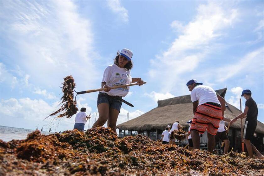 Estudiantes del municipio de Benito Juárez, en el estado de Quintana Roo (México), apoyan la limpieza de sargazo, en las playas de este centro de recreo. EFE/Archivo