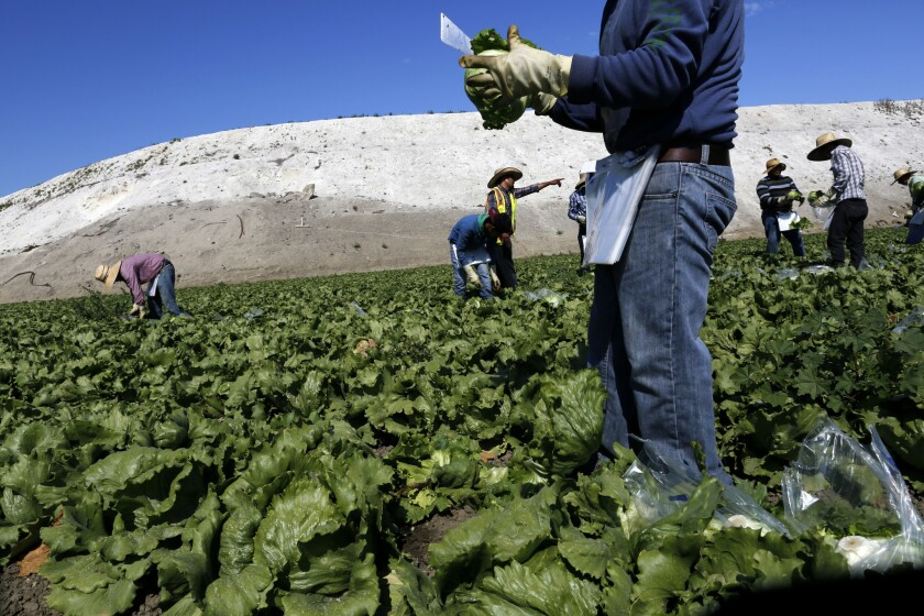 Farmworkers labor in a field.