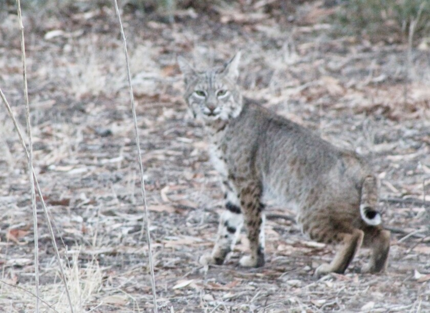 The bobcat being released on Sunday near where she was found in Rancho Bernardo.