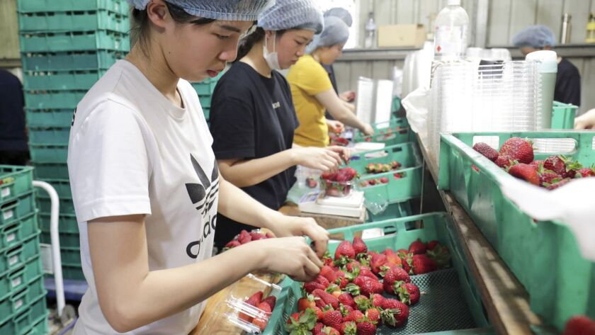 In this Nov. 5, 2018, file photo, workers sort and pack strawberries at the Chambers Flat Strawberry