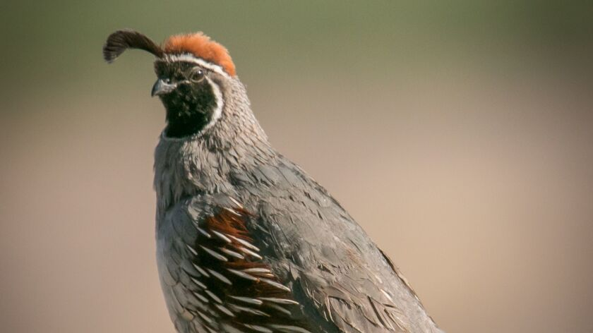 Gambel's quail are most often seen in Anza-Borrego Desert State Park.