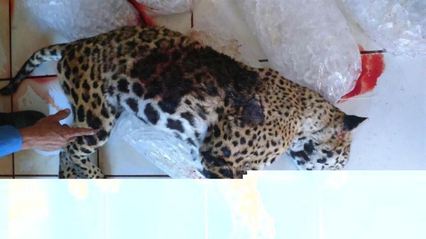 Fotografía cedida por la Procuraduría Federal de Protección al Ambiente (Profepa) hoy, viernes 16 de diciembre de 2016, de un jaguar que fue muerto a tiros por un policía en las calles del municipio de Tlajomulco, en el occidental estado de Jalisco (México). EFE/Profepa/SOLO USO EDITORIAL