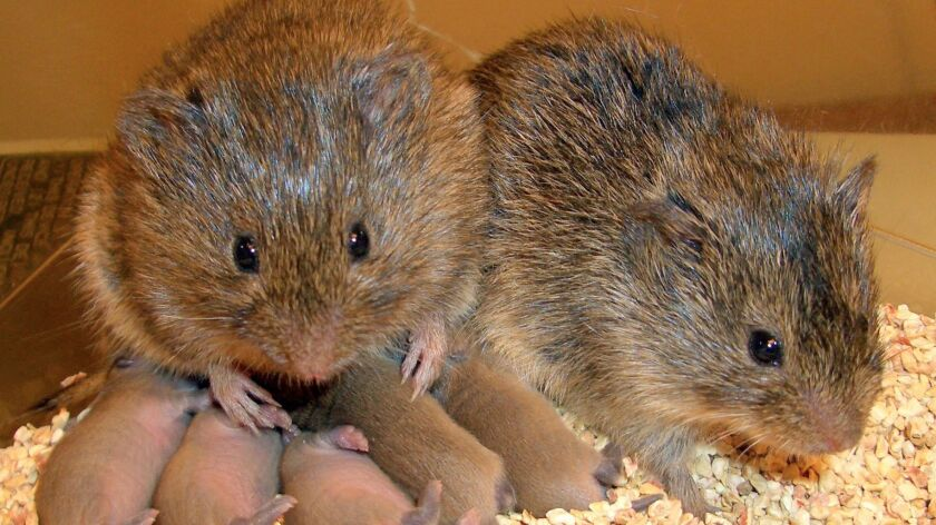sci.1015.vole.3––Working with mouse–like rodents called prairie voles, scientists have found that cl