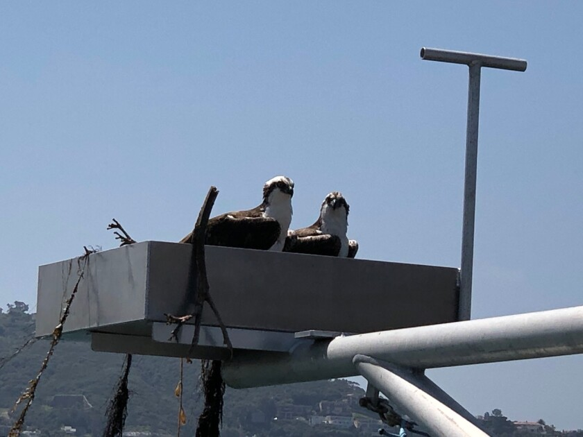 Ospreys named Ozzy and Dame Edna have made a nest on a platform at the end of the Scripps Pier in La Jolla.
