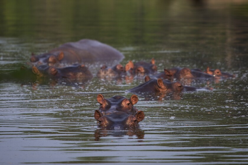 Colombia Hippos