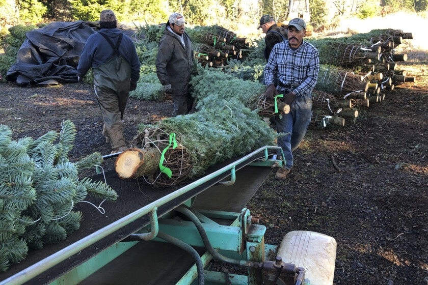 In this Dec. 5, 2019 photo, workers — most of them from Mexico — load Christmas trees onto a truck at Hupp Farms in Silverton, Ore. On Wednesday, Dec. 11, 2019, the U.S. House passed a bill that would loosen restrictions on hiring foreign agricultural workers and create a path to citizenship for more than 1 million farm workers estimated to be in the country illegally. The bill's fate in the Senate is unclear, and the White House hasn't said if President Donald Trump would sign it. But the 260-165 vote was a rare stroke of bipartisanship on immigration. (AP Photo/Andrew Selsky)