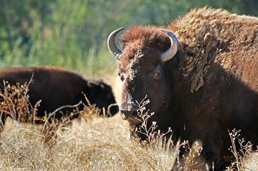 Bison on Camp Pendleton
