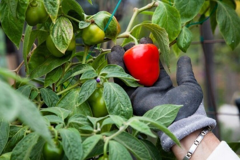 Rocoto chile: For pepper lovers who can take the heat