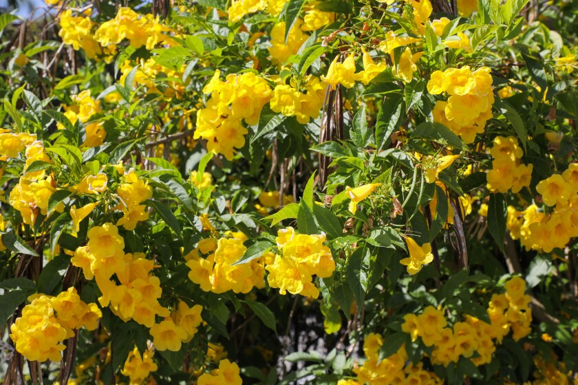 Detail view of a Yellow Bells plant at Walter Andersen Nursery, growing in front of the store.